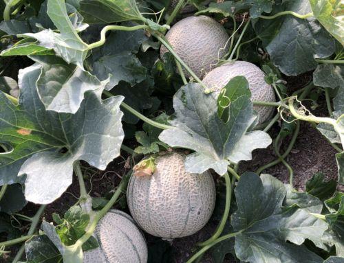 Aumento del 20% del número de piezas de melón Cantaloup Jacobo con la aplicación de In-Vigo y Manni-Plex