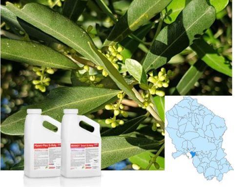 Logramos un 13% más de producción/hectárea de olivar con el suplemento BRANDT® Manni-Plex® B Moly en La Carlota (Córdoba)