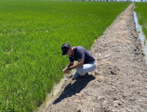 BRANDT InVigo incrementa la productividad del arroz en grano más de un 15% en condiciones de salinidad adversa